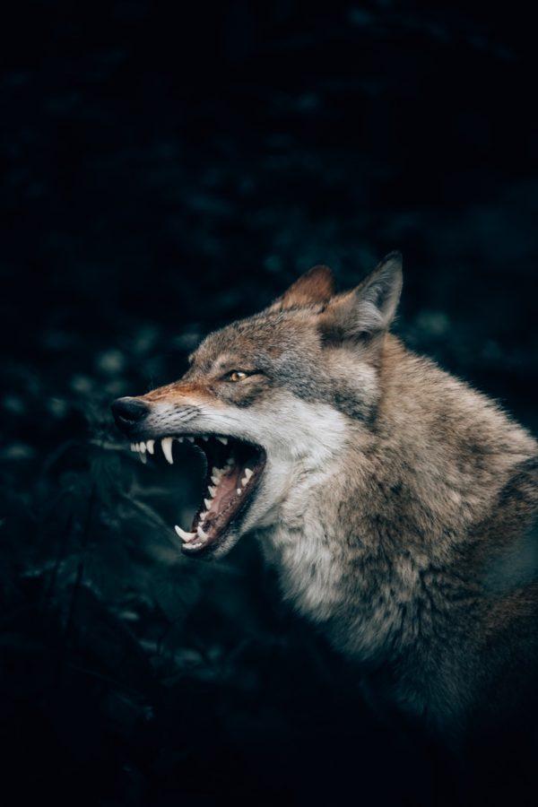 wolf phot